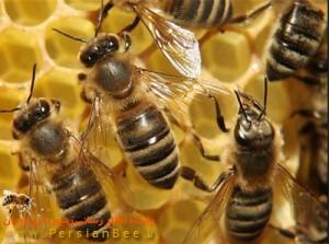خبر:کنترل وضعیت زنبورستانهای خوزستان, زنبورستانهای خوزستان,کنترل وضعیت زنبورستانها, زنبورستان,خبر