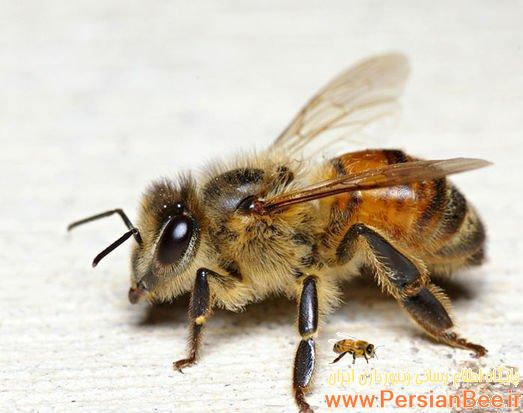 فیلمی از بخش اول:تاریخچه زنبور عسل قسمت اول
