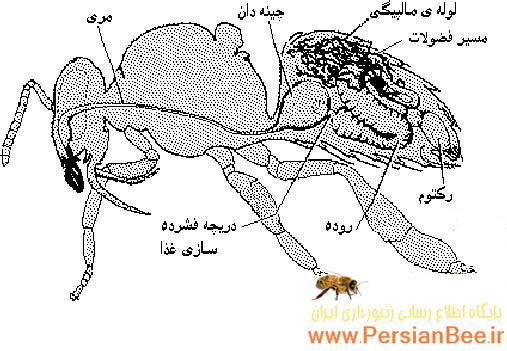تشریح معده زنبور عسل